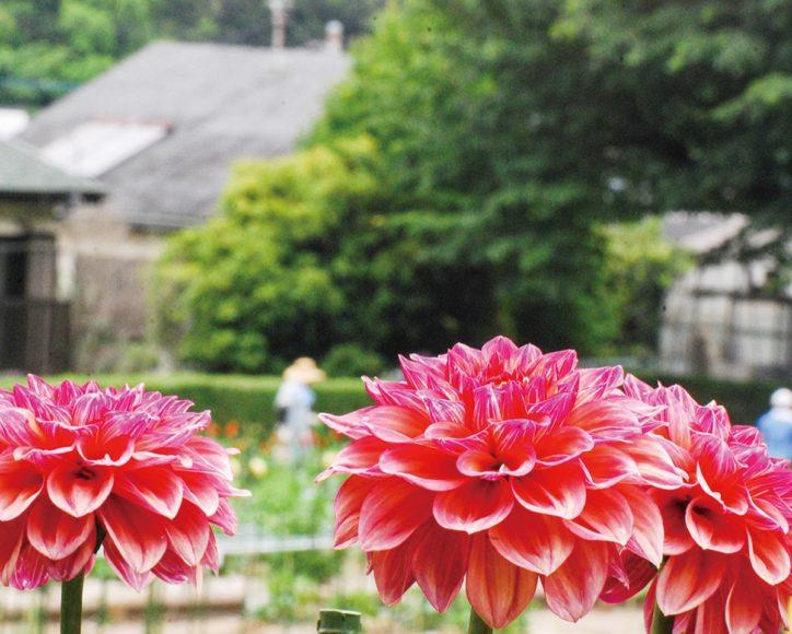 町田ダリア園が2020年も開園 恒例のオリジナル品種に名前を付ける企画も