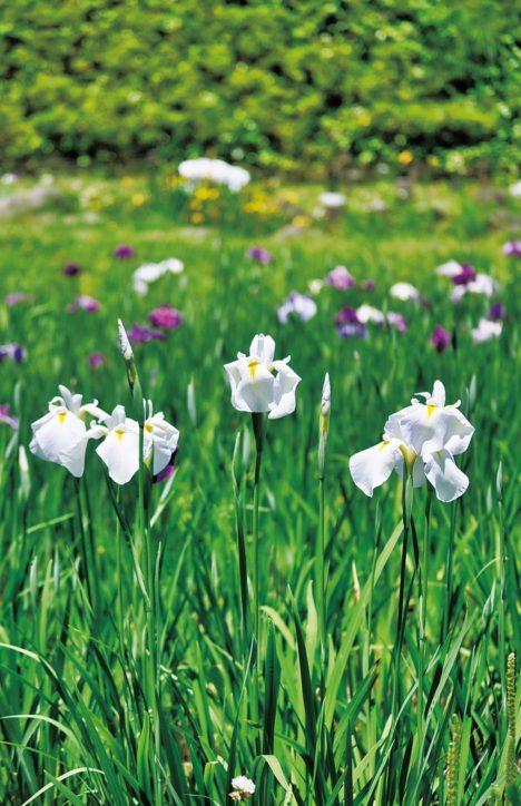 自然の里山の雰囲気の中沢池公園で花菖蒲が見頃【多摩市】