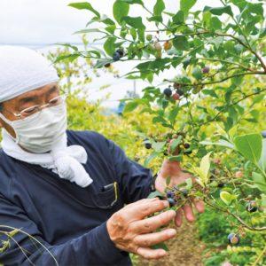 """""""青い宝石"""" 鈴なりに!夏の果実ブルーベリーの収穫がピーク@秦野市5農園"""