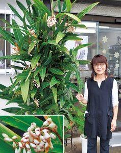 南国の花が厚木で開花「月桃(ゲットウ)」