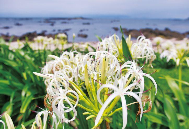 """横須賀の天神島臨海自然教育園で""""ハマユウ""""見ごろ 夏の訪れ報せる海の白花"""