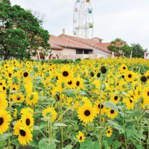 恋しい夏空!長井海の手公園「ソレイユの丘」で梅雨明け待つひまわり【横須賀市】