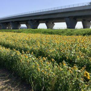 厚木市・新相模大橋北側に3000平方メートルに広がるひまわり