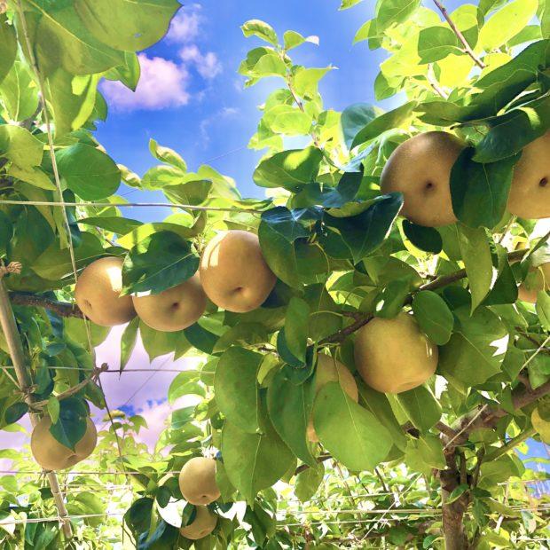 【歩いて行こう】藤沢の梨狩りが真っ盛り 酸味少ない甘さで人気
