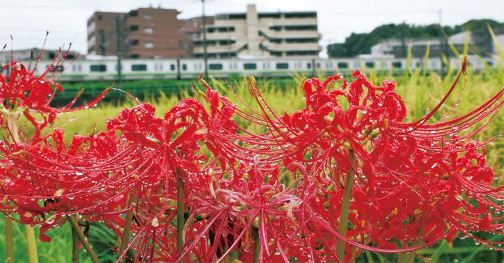 9月に神奈川周辺で見られる花