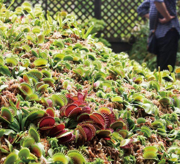 【箱根湿生花園】世界の食虫植物 大集合!約100種、700点を展示。特別販売も!