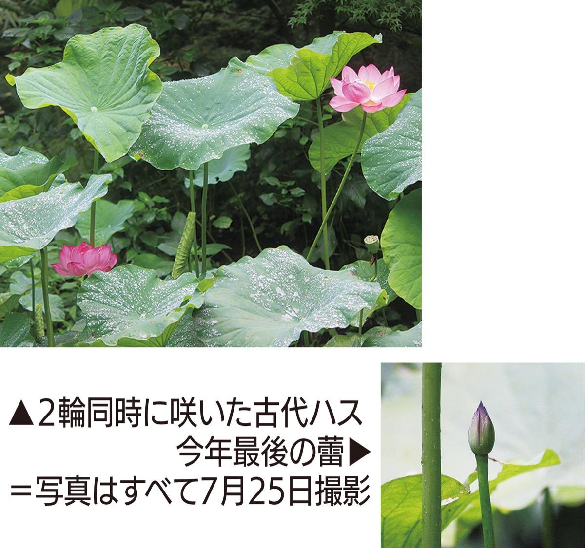 「長雨に映える立ち姿」 上和田野鳥の森 古代ハス開花