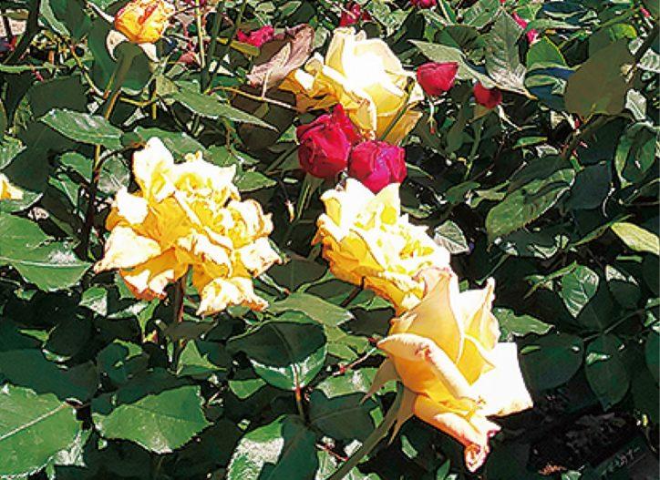 【参加者募集】バラの魅力とその楽しみ方~秋剪定・病害虫など~@県立大磯公園