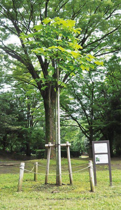 被爆アオギリの種から育てられた平和のシンボルツリー@多摩市多摩中央公園