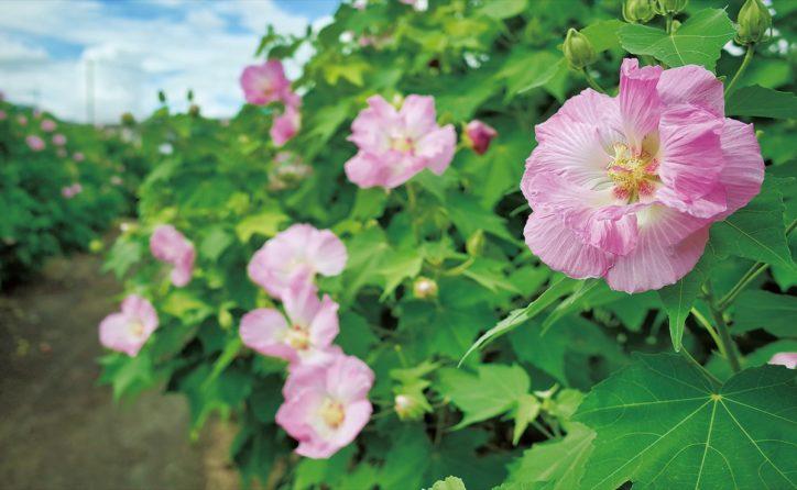 【南足柄市】白からピンクへ酔芙蓉(スイフヨウ) 農産品販売も@ふくざわ公園周辺