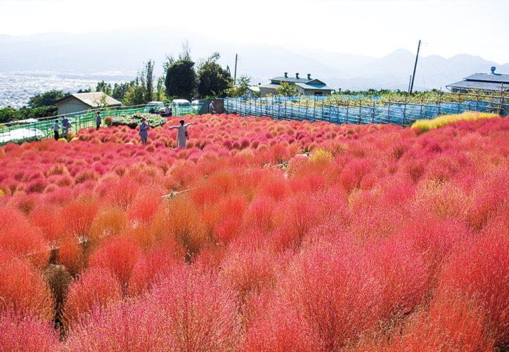 松田山「コキアの里」紅葉真っ盛り!枯れたコキアや種の配布も!〈2020年11月8日まで開園〉