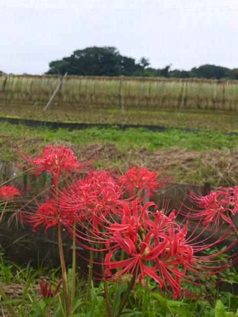 今が見頃!小出川に連なる3kmの紅の帯・彼岸花(ヒガンバナ)を見に行こう