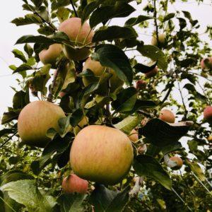 旬のリンゴを発見! 神山果樹園で実りの秋