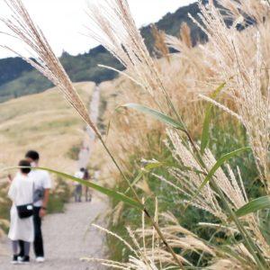 ふわりなびくススキの穂!箱根仙石原のススキがこれから見頃に!「かながわの景勝50選」