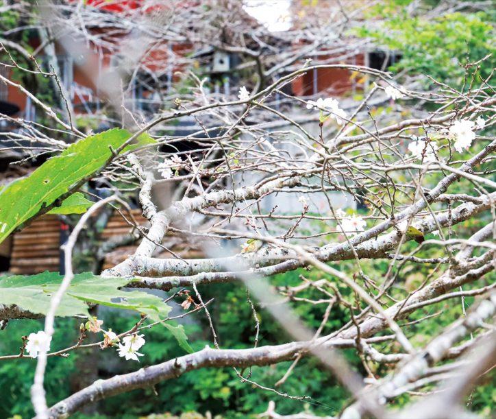 十月桜これから見ごろ! 寺山の「手打ちそば石庄庵」の庭園で【秦野市】