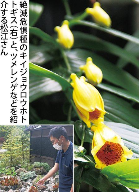 箱根湿生花園で「秋の山野草展」約150種800点を展示、希少な絶滅危惧種も!