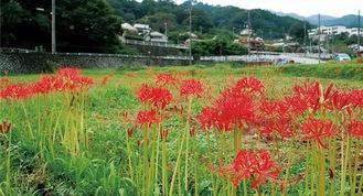秋の深紅 2020年も 彼岸花各地で見頃(清川村)