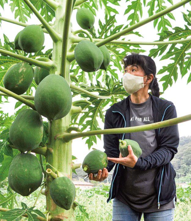 まるは農園 「青パパイヤ」 収穫・販売ピークは10月!@相模原市南区