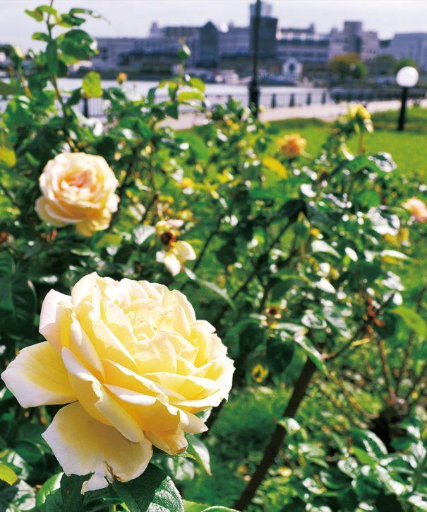 JR横須賀駅近く「ヴェルニー公園」秋風に揺れる可憐なバラ