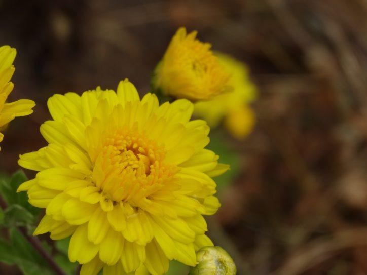 11月に楽しめる神奈川周辺の花々