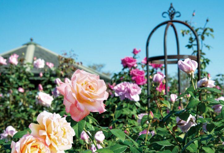 平塚市の花菜ガーデンで 「ローズフェスティバル2020〜秋〜」 10月5日から