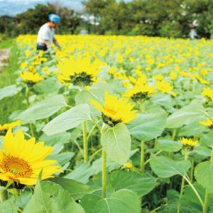 【南足柄市ユートピア農園】季節外れの黄色い絨毯、ヒマワリが見頃に!