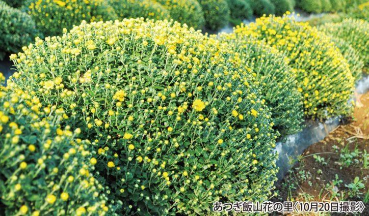 5000株のざる菊がお出迎え 鉢植えの販売も!(厚木市)