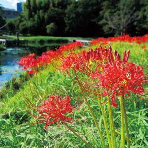 大磯・二宮・中井町で秋風に揺れる紅白彼岸花が見頃に