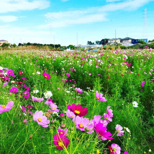 藤沢市・遠藤に咲き乱れるコスモス 摘み取りイベントも開催