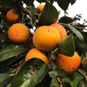 藤沢市で柿もぎスタート!のどかな自然に囲まれた弁慶果樹園で