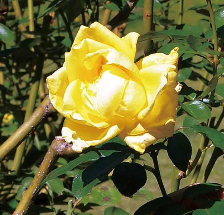 鎌倉文学館 で『秋バラ』 201種が開花 見頃は11月中旬まで