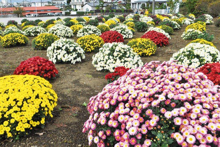 藤沢市少年の森で《秋空彩る479株のざる菊》