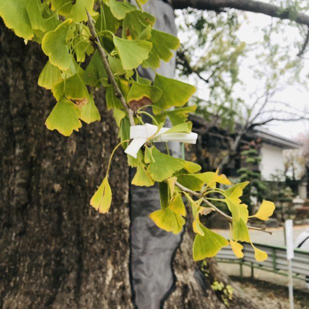 樹齢700年!藤沢・遊行寺の大イチョウが堂々たる枝ぶり