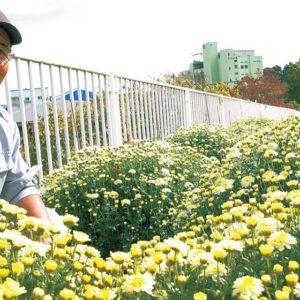 山北町の県道沿い彩るざる菊が見頃!「フラワーロード」総延長約120mに9種類250株