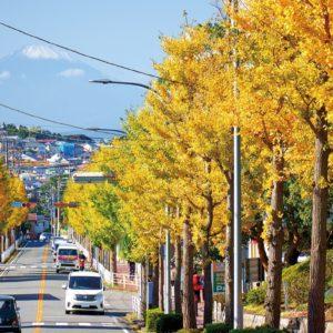 港南区・栄区のイチョウ 黄金色に色づき始める