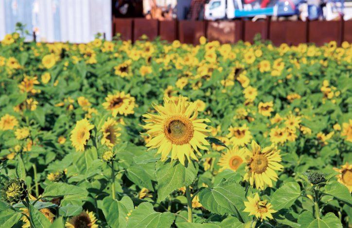 秋にもヒマワリが満開に!<川崎市麻生区>早野地区で夏に続き開花