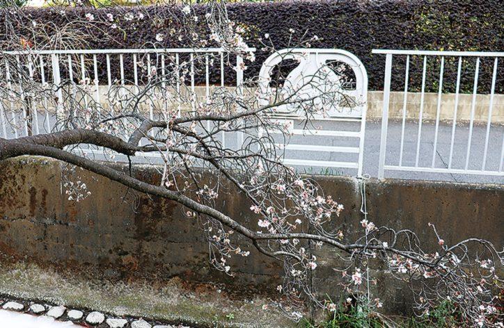 約30本の「十月桜」が見ごろ <川崎市・二ヶ領用水沿い>