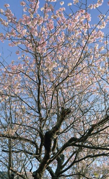【横浜市青葉区】冬に咲くヒマラヤ桜、今年も満開に@藤が丘地区センター