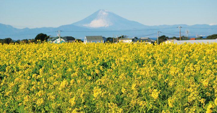 富士と菜の花の競演!横須賀ソレイユの丘で10万本が見ごろ