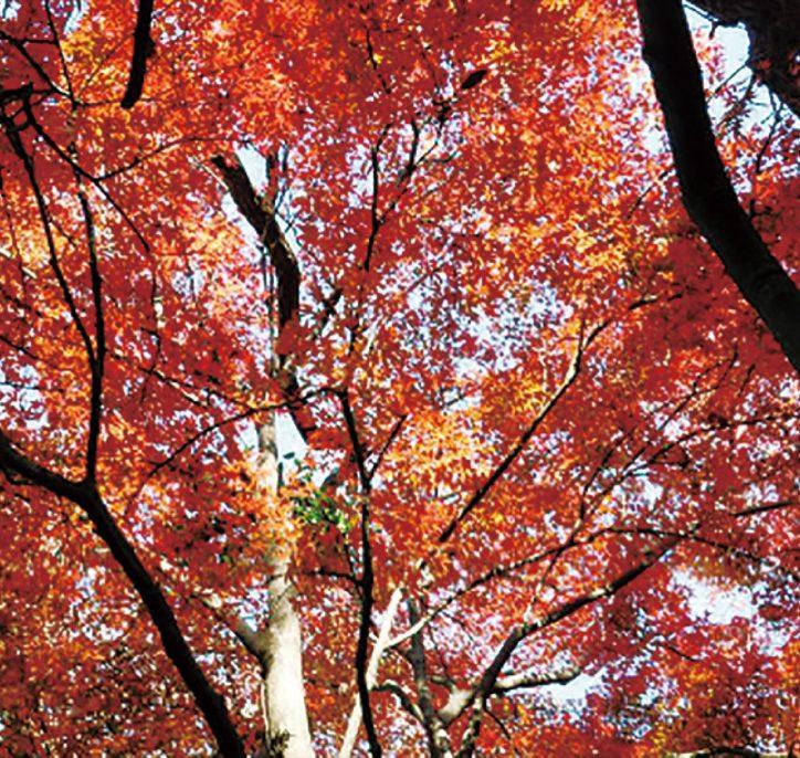 参加者募集「お伊勢山で紅葉狩り」12月25日 主催・金沢八景の自然と史跡を守る会