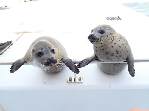 箱根園水族館に2020年に生まれたゴマフアザラシ2頭が仲間入り!