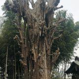 川崎市地域文化財に選定!樹齢約650年「乳イチョウ」かながわの名木100選にも@川崎市宮前区 影向寺