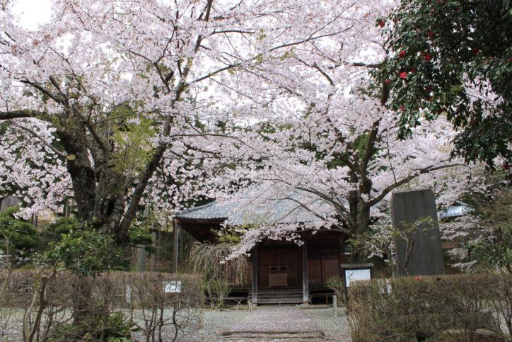 ソメイヨシノやしだれ桜に包まれる「大日堂」
