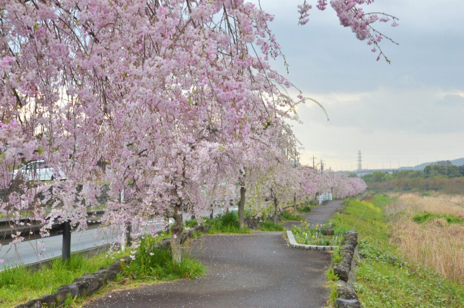 秦野市の大動脈とも言える水無川沿いで楽しめるしだれ桜