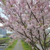 大根川沿い思川桜/遊歩道に121本の桜並木 おおね公園近くでお花見散策