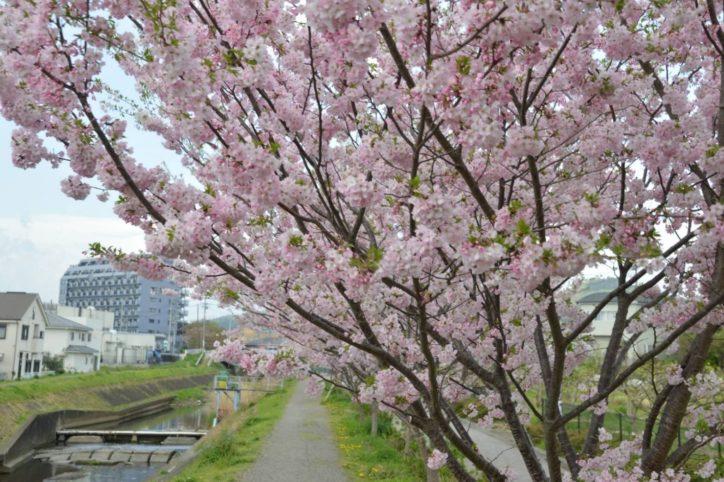 大根川沿いに咲く思川桜