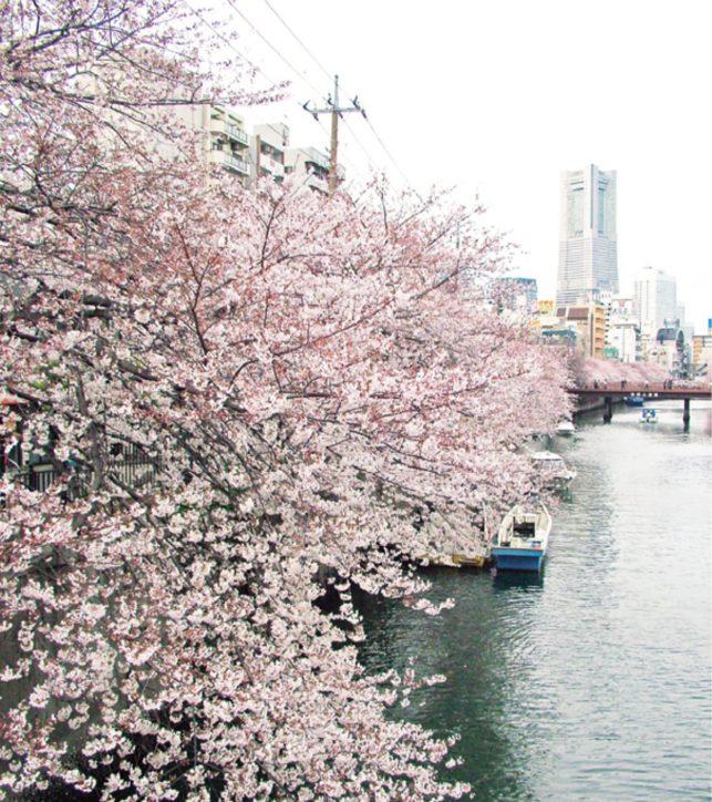 横浜市「南区桜まつり」イベント2021年も中止・ぼんぼりの点灯も規模縮小