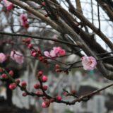 町田の梅スポット【祥雲寺・梅花の郷】3月には「寺フェス2021春の陣」開催予定