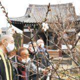 春の訪れ~梅ほころび始める、1月下旬頃には満開に@川崎市 石観音堂