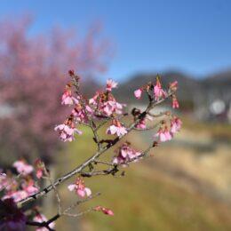 秦野・おかめ桜の定点観測2021